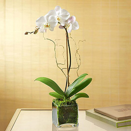 White Orchid Plant In Glass Vase